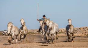 Biali Camargue konie galopujący na piasku Fotografia Royalty Free