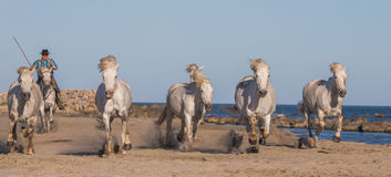 Biali Camargue konie galopujący na piasku Zdjęcia Stock