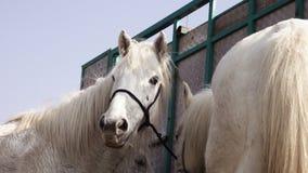 Biali Camargue konie Provence, Francja zdjęcie wideo