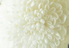 Biali chryzantema płatków kwiaty Obraz Stock