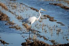 Biali czapli Ardea albumy przy zmierzchem w zalewającym ryżu polu w Albufera naturalnym parku, Walencja, Hiszpania Naturalny tło fotografia stock