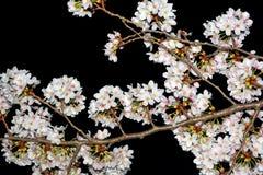 Biali czereśniowi kwiatów okwitnięcia fotografujący przy nocą przeciw czarnemu nieba tłu Zdjęcia Royalty Free