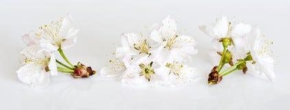 Biali czereśniowi okwitnięcia na świetle - szary tło Fotografia Royalty Free