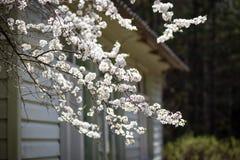 Biali czereśniowi okwitnięcia przed domem obrazy stock