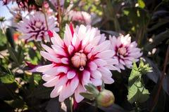 Biali czerwień kwiaty Fotografia Stock