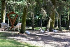 Biali czerwoni deers i ich dzieci przy żywieniowym miejscem zdjęcie stock