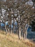 Biali dębowi drzewa w jesieni na górze popierają kogoś fotografia royalty free