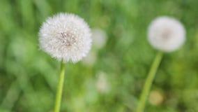 Biali dandelions na zielonej łące zdjęcie wideo