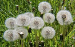 Biali dandelions w polu Zdjęcie Royalty Free