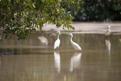 Biali egrets watuje z odbiciem w płytkiej wodzie, Celestun, Zdjęcie Stock