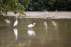 Biali egrets watuje z odbiciem w płytkiej wodzie, Celestun, Fotografia Stock