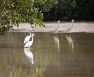 Biali egrets watuje z odbiciem w płytkiej wodzie, Celestun, Fotografia Royalty Free