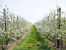 Biali fruitblossoms w wiośnie Obraz Royalty Free