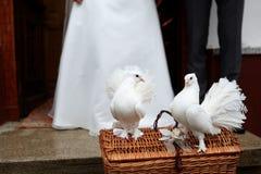 Biali gołąbek uwolnienia zdjęcie stock