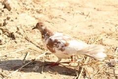 Biali gołębi ptaki obrazy stock