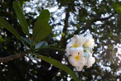 Biali i żółci plumeria kwiaty zdjęcie royalty free