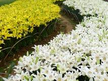 Biali i żółci leluja kwiaty Zdjęcie Stock