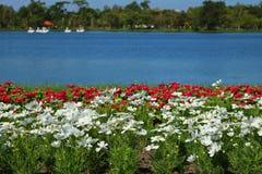 Biali i czerwoni kosmosy kwitną w parku zdjęcie stock