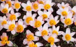 Biali i Pomarańczowi tulipany Zdjęcie Royalty Free