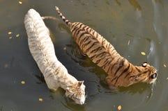 Biali i pomarańczowi tygrysy Obrazy Royalty Free
