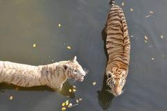 Biali i pomarańczowi tygrysy Zdjęcie Stock
