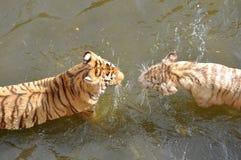 Biali i pomarańczowi tygrysy Zdjęcia Stock