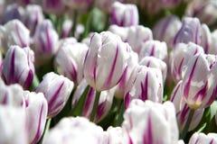 Biali i różowi tulipany r w ogródzie Fotografia Royalty Free