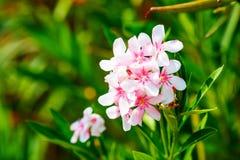 Biali i Różowi Nerium oleanderu kwiaty Obraz Stock