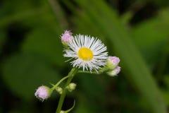 Biali i różowi wildflowers Obrazy Royalty Free