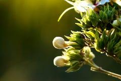 Biali i zieleni piękni kwiaty Fotografia Stock