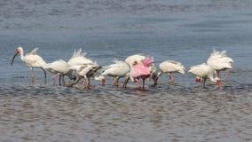 Biali ibisy i Roseate Spoonbill Foraging, J n Ding Darli Obrazy Stock
