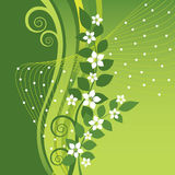 Biali jaśminów kwiaty na zieleni wirują tło Obraz Stock