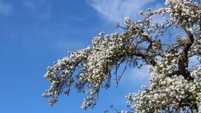 Biali jabłko kwiaty Z Młodymi liśćmi I Latającymi ptakami zbiory