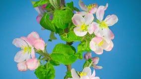 Biali jabłoń kwiaty zbiory wideo