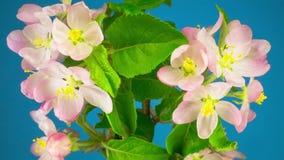 Biali jabłoń kwiaty zbiory