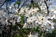 Biali jabłoń płatki Fotografia Royalty Free