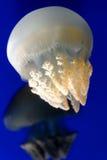Biali jellyfish  obraz royalty free