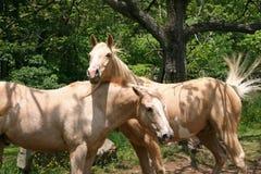 Biali konie obraz stock
