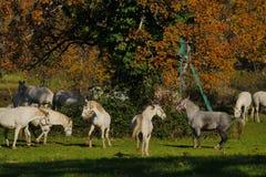 Biali konie bawić się wokoło w jesieni polach Obrazy Stock