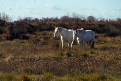 Biali konie Camargue, Południowy Francja obraz stock
