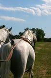 Biali konie Lipica obrazy royalty free