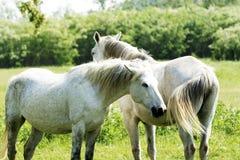 Biali konie na łące Zdjęcie Royalty Free