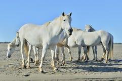 Biali konie na naturalnym tle Obraz Royalty Free