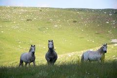 Biali konie przy halnym paśnikiem Fotografia Royalty Free