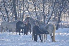 Biali konie w śniegu Zdjęcie Royalty Free