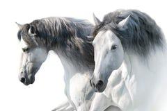 Biali konie w wysokość kluczu zdjęcia royalty free