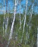 Biali korowaci drzewa Zdjęcie Royalty Free