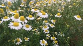 Biali krajacza kwiatu, asteru ericoides/kwitną ruchu nad silnym wiatrem