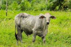 Biali krowa stojaki w paśniku Obrazy Stock