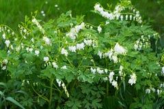 Biali krwawiącego serca kwiatów dicentra spectabilis w wiośnie uprawiają ogródek Obrazy Royalty Free